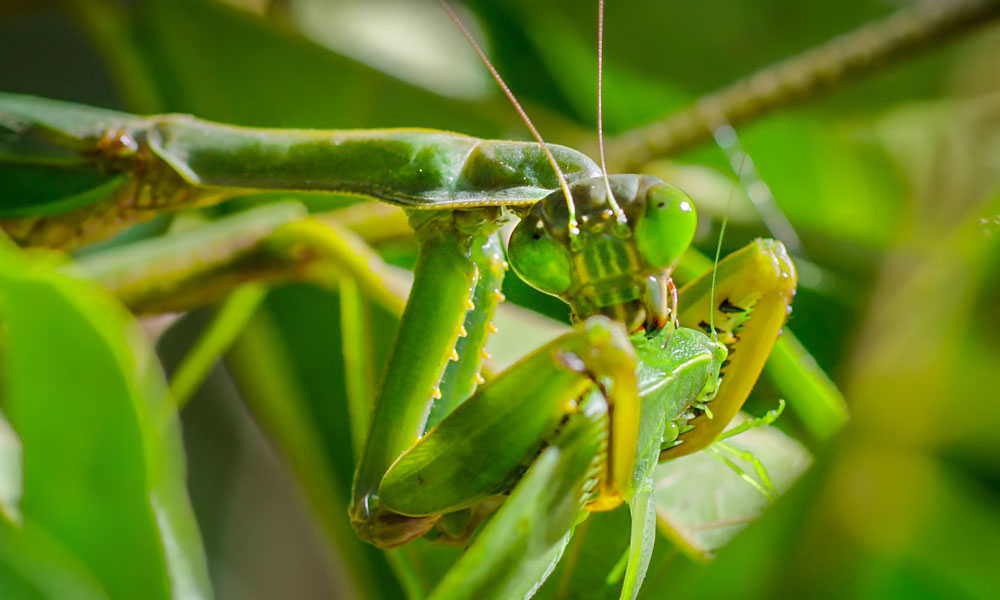 A praying mantis feasts on a katydid in the Madagascan jungle. Image credit: Silverback Films