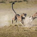 Cheetah and wildebeest