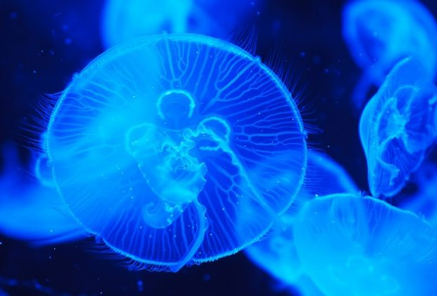 Jellyfish and micro-plastics