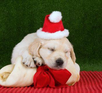 Christmas dog sleeping