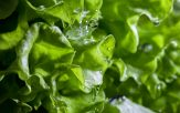 lettuce with drops