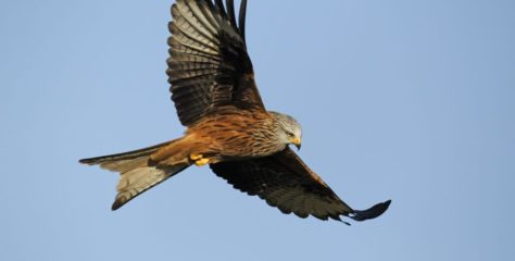 Red kites and ravens swooped through Elizabethan London – and helped keep the city clean